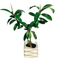 Orange Mangrove -Bruguiera sexangula- Samen *Tolle Zimmerpflanze