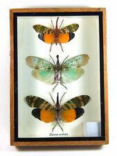 3 Zanna nobilis Real Butterfly Insect Bug Taxidermy Display in Framed Box gpasy