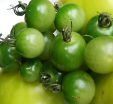 Green Doctors Frosted Cherry Tomato : 25 Seeds