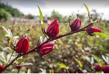 Rosella Hibiscus Sabdariffa  20 Seeds