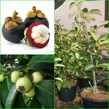"Thai Mangosteen Plant Garcinia mangostana ""Queen of fruit"" :TP02"