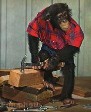 1959 Vintage MONKEY HUMOR ~ Chimpanzee CARPENTER Handyman Wood Animal Photo Art