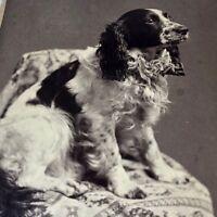 ENGLISH SPRINGER SPANIEL portrait Victorian cabinet card photo Providence RI