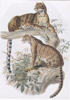 RARE Daniel Elliot Neofelis Nebulosa Smoky Leopard Russian modern repro postcard