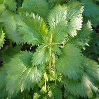 Stinging Nettle (Urtica Dioica)- 100   Seeds- BOGO 50% off SALE