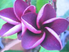 Plumeria Seeds/Flowers/Plants/Mai_Thai/Fresh 19 seeds!
