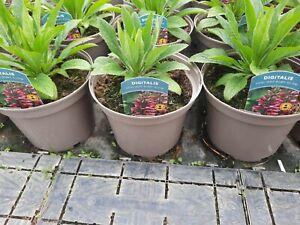 X3 Digitalis Foxlight Ruby Glow Perennial 3Litre Pot Garden Ready Foxglove