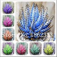 Aloe Bonsai Succulent 50 Pcs Seeds Plants Mini Home Garden Pot Perennial Cacti Z