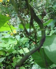 ♫ HARICOT Grimpant Rame 'Hilda' -Phaseolus ♫ Graines ♫ Plante Potagère Gustative