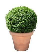 Buxus sempervirens (Box) - 50 seeds. Classic evergreen shrub perfect for hedging