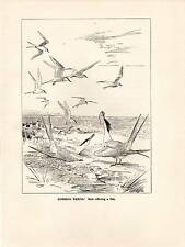 1923 BIRD PRINT ~ COMMON TERNS ~ MALER OFFERING FISH ~ ROLAND GREEN