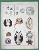 MOLLUSKS Bivalve Clams - SUPERB Color Antique Print H/C