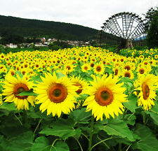 Oil Sunflower Seeds 15 Seeds Helianthus Annuus Flower Garden Seeds A135 For Gift