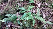 Licorice Fern  6 Edible Live Plants