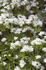 riecht wunderbar und intensiv in Ihrem Garten: der echte schöne Waldmeister !