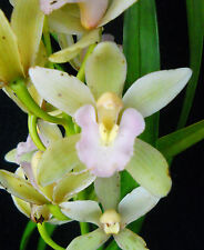 Cymbidium Alice Williams, orchid plant