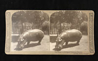 VTG B&W Stereoview Card LG Hippo at Zoo Pretoria South Africa, Realistic Travels