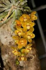 Chiloschista pusilla orange species Orchid Plant