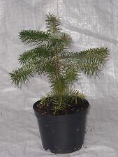 Nordmann Fir, Abies Nordmannia Living Christmas Tree, 30 - 50 cm inc.Pot.
