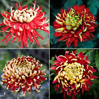 100X Bicolor Rot Gelb Chrysanthemen Samen Blumen Pflanze^ O8S1
