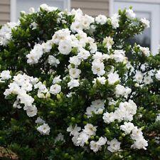 CAPE JASMINE-GARDENIA JASMINOIDES - 50 semi-CESPUGLIO-PROFUMATA-ornamentale