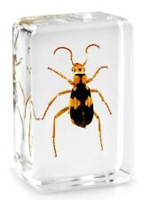 Real Tiger Beetle Insect Paperweight Specimen Taxidermy