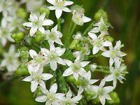 Garlic Chives Seed (Alllium tuberosum)  Culinary Herb Perennial Edible Flower