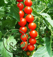 100 Pcs Tomato Seeds Lycopersicon Esculentum Vegetable Bulk Cherry Home Garden