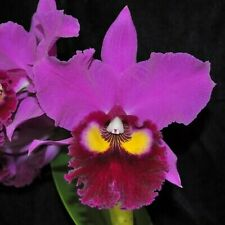 "Rlc Anna Saeki 'Volcano Queen' Blooming Size Orchid Plant in 3.5"" Pot"