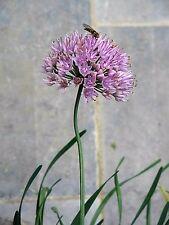 100 PRAIRIE ALLIUM Stellatum Prairie Onion Pink Flower Seeds *Combined Shipping