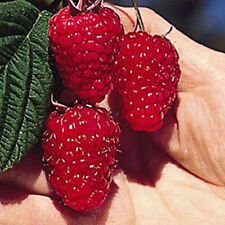 British Columbia Tulameen Raspberry -20 Seeds- Giant Red Sweet Juicy Raspberries