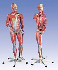 NEW 3B Scientific Deluxe Dual Sex Muscle Figure 45-part B50