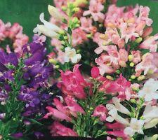 SWEET PETITE Penstemon barbatus cottage flowers plants - 6-cell seedling punnet
