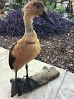 Antique Taxidermy Duck  Waterfowl