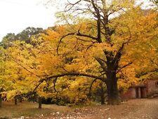 10 Fresh 2016 Gingko Ginkgo Biloba maidenhairtree Tree Fruit Tree seeds