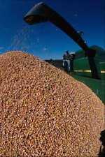 802060 Vince un contrato de maíz Selector de descarga de maíz en un carro A4 Foto Impresión