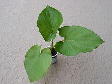 Piper auritum / Rootbeer plant