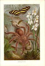 Stampa antica INSETTI RAGNO TARANTOLA e FARFALLA 1891 Antique print