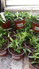 Hoya odeteae bene BARBATELLA Franca casa pianta in vaso 9.0CM.
