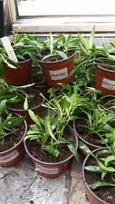 Hoya odeteae bien raciné House Plant in 9.0 cm pot.