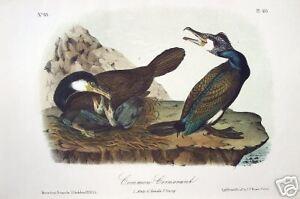 """John James Audubon: """"Common Cormorant"""" Lithograph"""