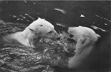 BF39398 france paris zoo withe bear ours   animal animaux
