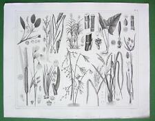 AQUATIC PLANTS Rice Sugar Cane Cattail Bamboo Pondweed - SUPERB Antique Print
