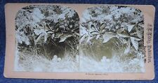 Ground Sparrow's Nest F.L. Libby of Sanford Maine Stereoview