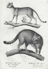 Brontmann's Animals - AFRICAN & EUROPEAN WILD CATS - Copper Engraving - 1827