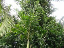 Palme ptychosperma microcarpum palmiers graines qualité graines 10 graines