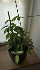 Chambre plante pour pendre-Hoya carnosa sarracenia-porcelaine fleur 14cm feu