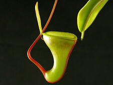 """5  SEMI DI Nepenthes dubia """"Rarissima"""""""