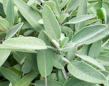 SALVIA OFFICINALIS 20 SEMI Salvia Comune Sage pianta erba aromatica
