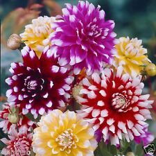 Flower Seed - DAHLIA - Decorative Double Mixed Colour Flower - Pack of 40 seeds.